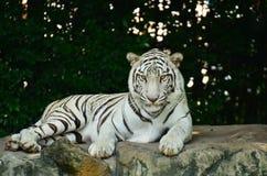 Weißer Tigeraufenthalt auf dem Felsen Lizenzfreie Stockfotos