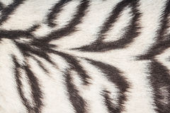 Weißer Tigerhintergrund Lizenzfreie Stockbilder