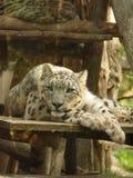 Weißer Tigerschlaf in amneville Zoo stockfotos