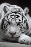 Weißer Tigress Stockfotografie