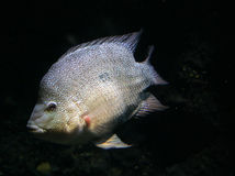 Weißer Tilapia Lizenzfreies Stockfoto