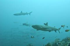 Weißer Tipp Haifisch Stockbilder