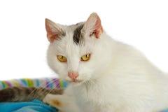 Weißer Tomcat in seinem Katzebett lizenzfreie stockfotografie