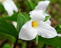 Weißer Trillium Stockfotografie