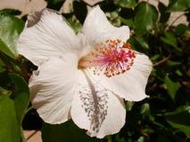Weißer tropicas Hibiscus Stockfoto