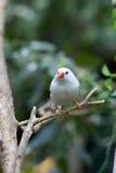 Weißer tropischer Vogel Stockbild