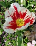 Weißer Tulpenkopf gespritzt mit Rot Stockfoto