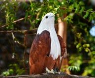 Weißer und brauner asiatischer Adler Stockbilder