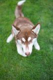 Weißer und brauner Hund Stockfotografie