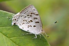 Weißer und brauner Schmetterling, der auf einem Blatt stillsteht Lizenzfreie Stockfotografie
