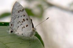 Weißer und brauner Schmetterling, der auf einem Blatt stillsteht Lizenzfreie Stockfotos