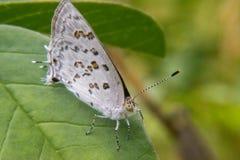 Weißer und brauner Schmetterling, der auf einem Blatt stillsteht Lizenzfreies Stockfoto
