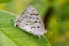 Weißer und brauner Schmetterling, der auf einem Blatt stillsteht Lizenzfreie Stockbilder