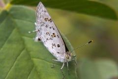 Weißer und brauner Schmetterling, der auf einem Blatt stillsteht Stockfotografie