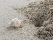 Weißer und brauner stout Dorn Murex mit Loch und Sandhaufen über Strandhintergrund lizenzfreie stockfotos