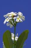 Weißer und gelber Frangipani Lizenzfreies Stockfoto