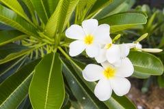 Weißer und gelber Frangipani blüht mit Blättern im Hintergrund Stockfoto