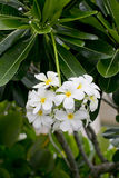 Weißer und gelber Frangipani blüht mit Blättern im Hintergrund Stockfotografie