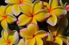 Weißer und gelber Plumeria Stockfotografie