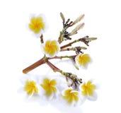 Weißer und gelber Plumeria elegant Lizenzfreies Stockfoto