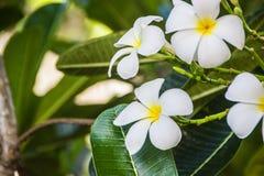 Weißer und gelber Plumeria Frangipani blüht mit Blättern Stockfotografie