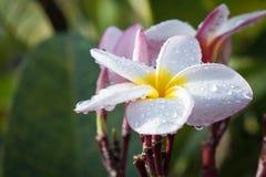 Weißer und gelber Plumeria (Frangipaniblumen) Stockfoto