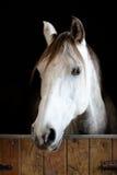 Weißer und grauer Pferdekopf im Stall Lizenzfreie Stockfotografie