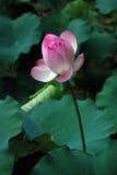 Weißer und rosa Lotos Lizenzfreie Stockbilder