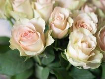 Weißer und rosa Rosenhintergrund nahaufnahme Lizenzfreie Stockfotografie