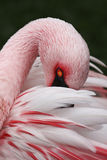 Weißer und rosafarbener Flamingo Stockbild