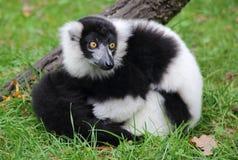 Weißer und schwarzer Affe Lizenzfreie Stockfotos