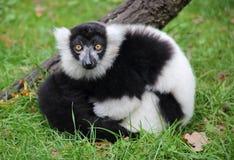 Weißer und schwarzer Affe Stockfotos