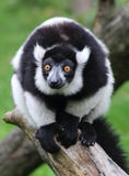Weißer und schwarzer Affe Stockfotografie