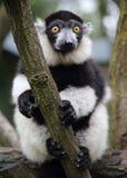 Weißer und schwarzer Affe Lizenzfreie Stockfotografie