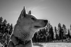 Weißer und schwarzer Husky Puppy Stockfotografie