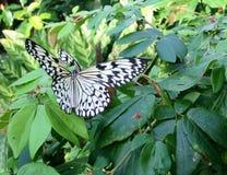 Weißer und schwarzer Schmetterling, der auf einem Rosenbusch stillsteht Stockbild