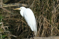Weißer Vogel Lizenzfreies Stockfoto