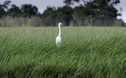 Weißer Vogel auf grünem Gras am Wald Lizenzfreie Stockfotos