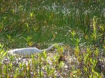 weißer Vogel, der in den Sumpf geht stockfoto