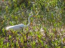 weißer Vogel, der in den Sumpf geht stockfotos