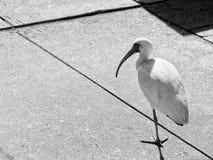 Weißer Vogel, der um den Park geht stockfotos