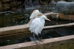 Weißer Vogel - ein Reiher Lizenzfreie Stockfotografie