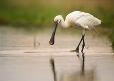 Weißer Vogel, seltener eurasischer Spoonbill gehend in das flache Stockfoto