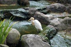 Weißer Vogelreiher durch das Wasser Lizenzfreies Stockbild