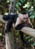 Weißer vorangegangener Affe natty und Stillstehen Stockfotos