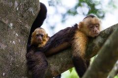 Weißer vorangegangener Capuchin - Cebus-capucinus lizenzfreies stockfoto
