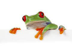 Weißer Vorstand-Frosch Stockfoto