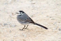 Weißer Wagtail Stockfotos