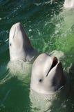 Weißer Wal zwei Lizenzfreie Stockfotografie