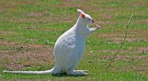 Weißer Wallaby, der einen Zweig kaut Stockfotografie